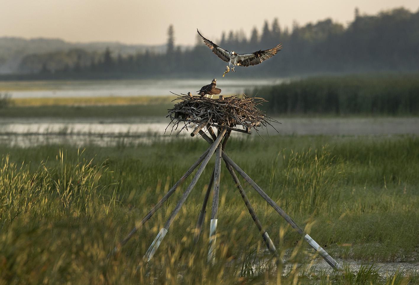 osprey flying to nest