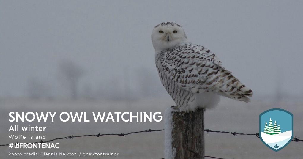 Frontenac Five Snowy Owl on Wolfe Island